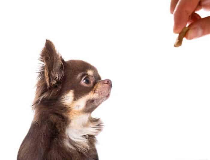 hand with treat giving it to long hair chihuahua