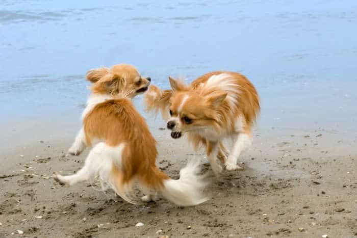 two chihuahuas playing on the beach