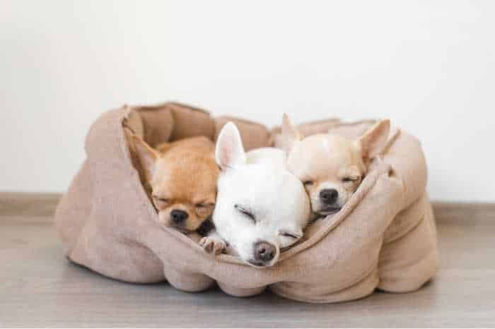 3 sleeping chihuahua puppies in dog bed