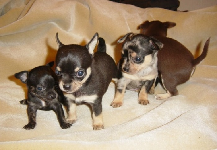 4 tiny chihuahua puppies