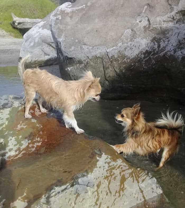 2 chihuahua dogs playing on rocks