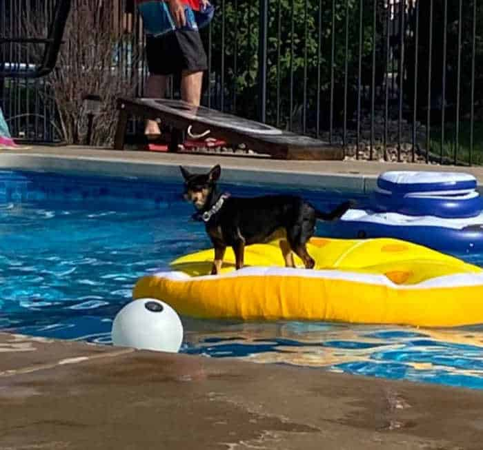 chihuahua dog on yellow float in pool