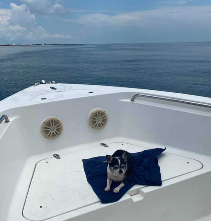 chihuahua dog in boat in water