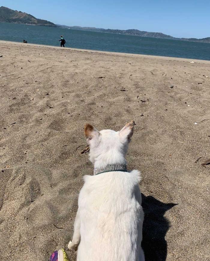 white chihuahua dog laying on beach