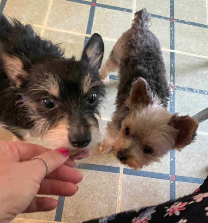 Chihuahua and Yorkie mix and small Yorkie trying dog treats from hand