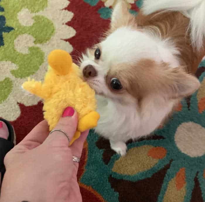 woman's hand giving a chick toy to chihuahua dog