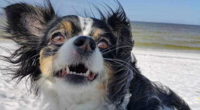 chihuahua on beach
