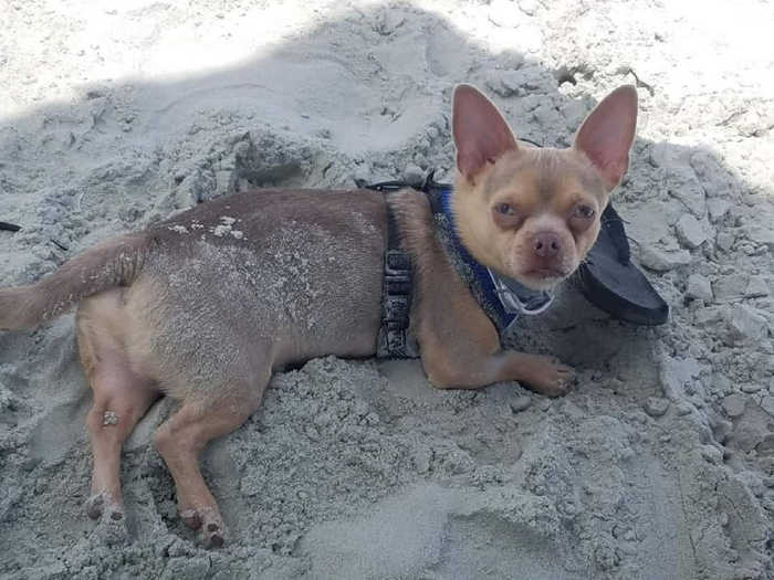 chihuahua dog laying in sand