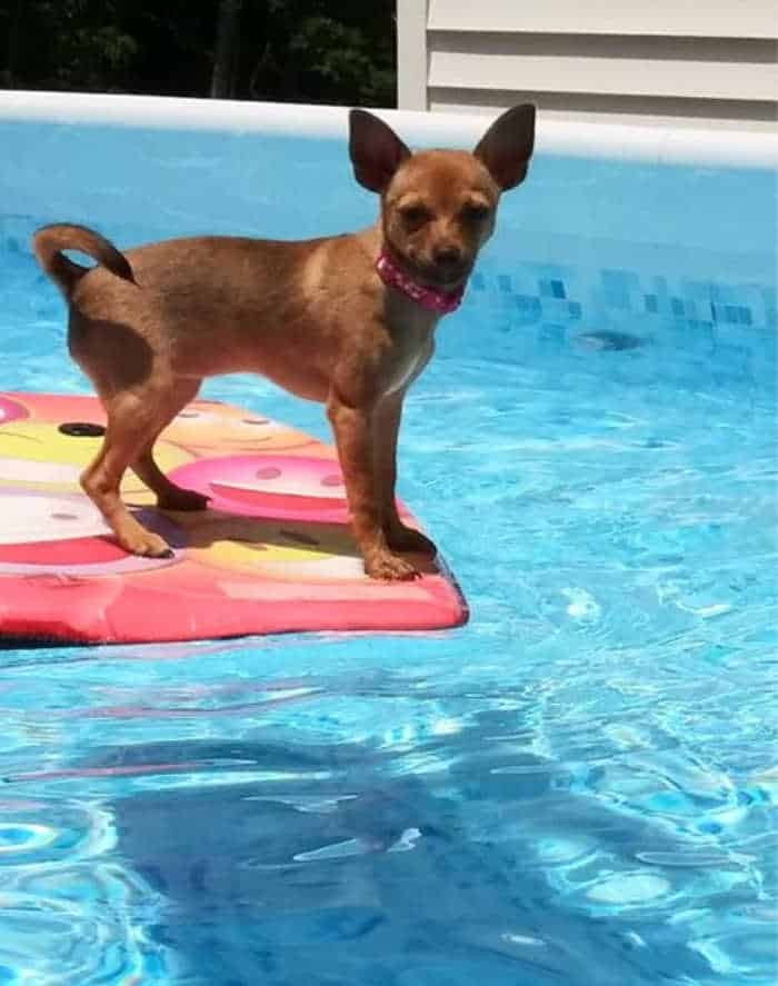 chihuahua on float in pool