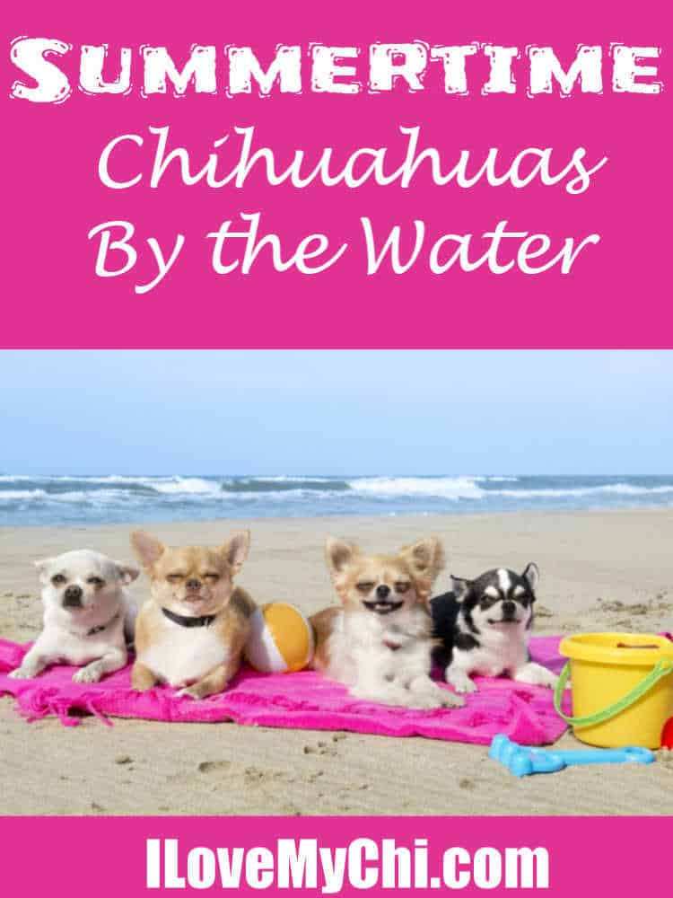 group of chihuahua dogs on beach