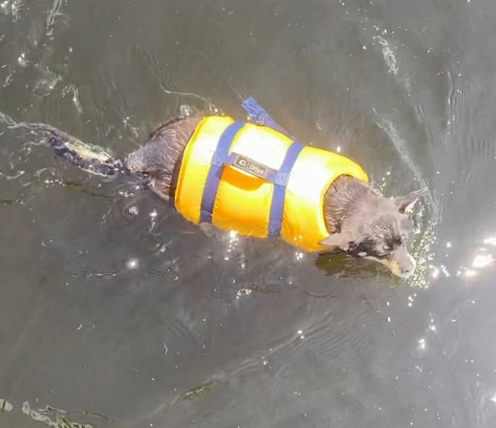 chihuahua dog wearing yellow life jacket in water