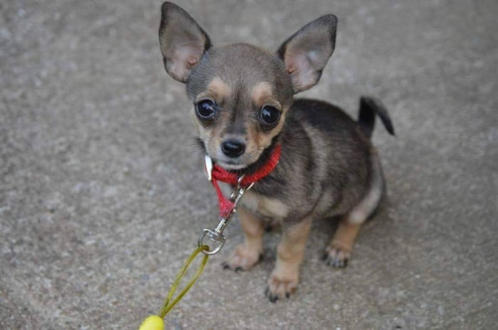 grey chihuahua puppy