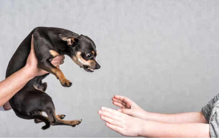 snapping chihuahua at outstretched hands
