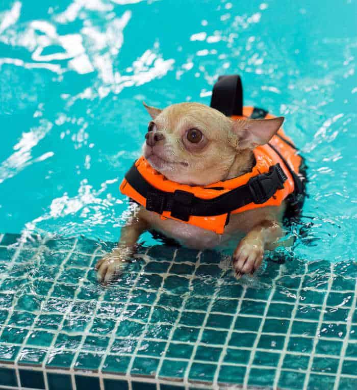 Chihuahua in dog pool