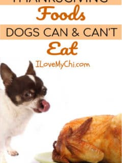 chihuahua dog licking lips by a roasted turkey