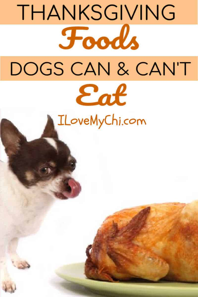 chihuahua licking lips with a roasted turkey by his side