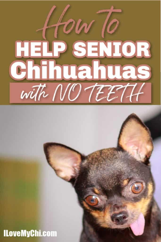 elderly chihuahua with tongue hanging out