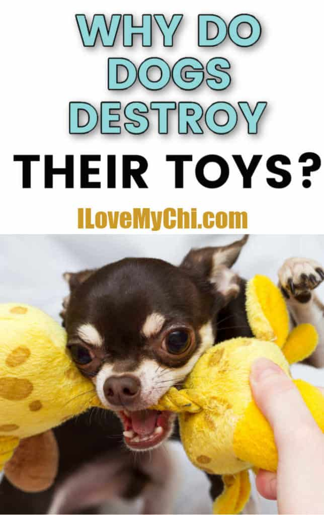 chihuahua with toy in mouth
