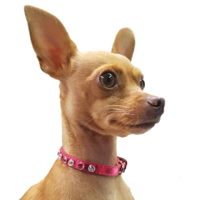 chihuahua wearing a crystal colloar