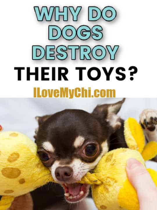 chihuahua dog holding toy in mouth