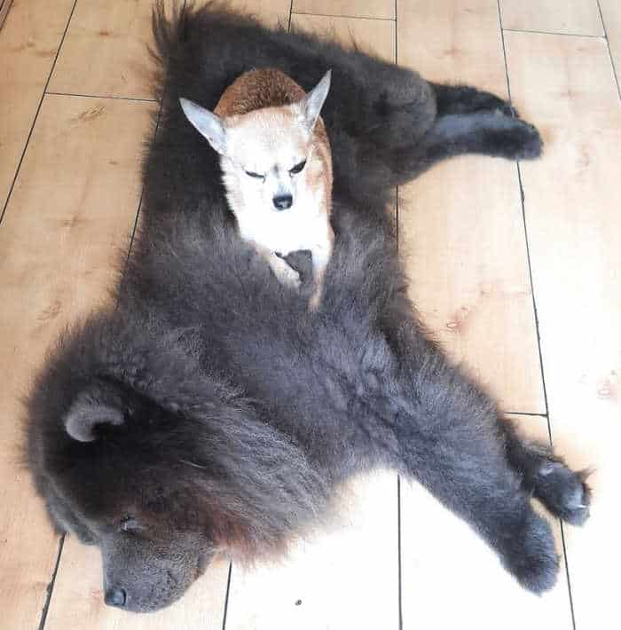 small fawn chihuahua on large fluffy black chow dog