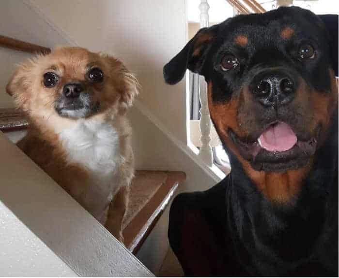 long hair chihuahua and Rottweiler