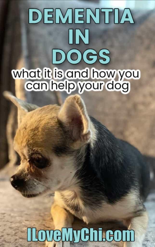 elderly chihuahua dog
