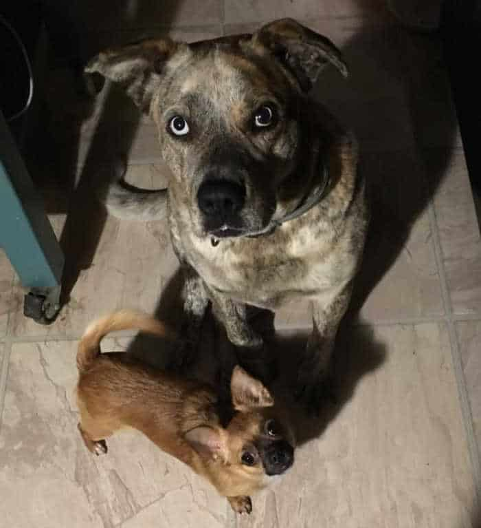 large blue eyed dog and tiny chihuahua