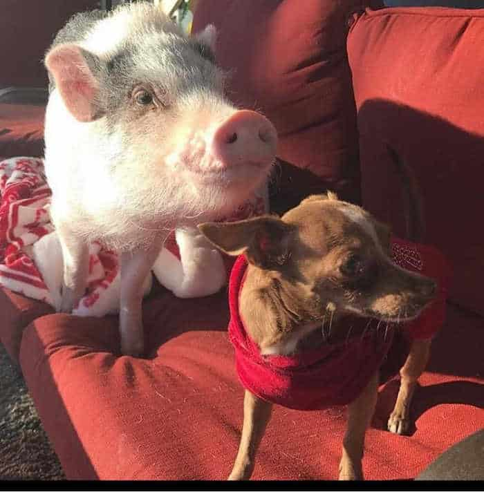 pig with chihuahua