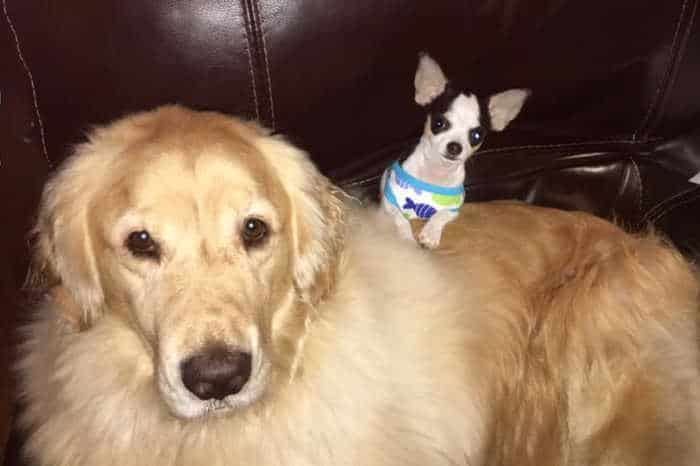 tiny chihuahua on top of golden retriever