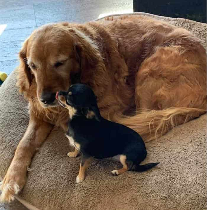 small chihuahua giving large golden retriever a kiss