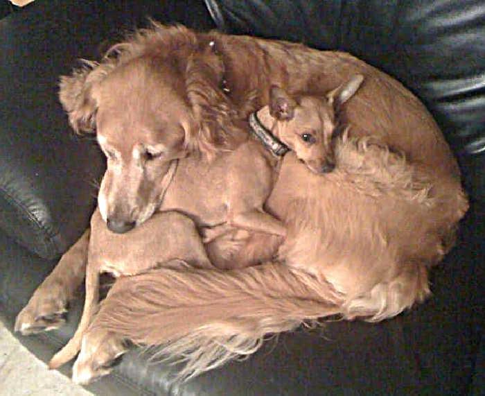 golden retriever laying with fawn chihuahua