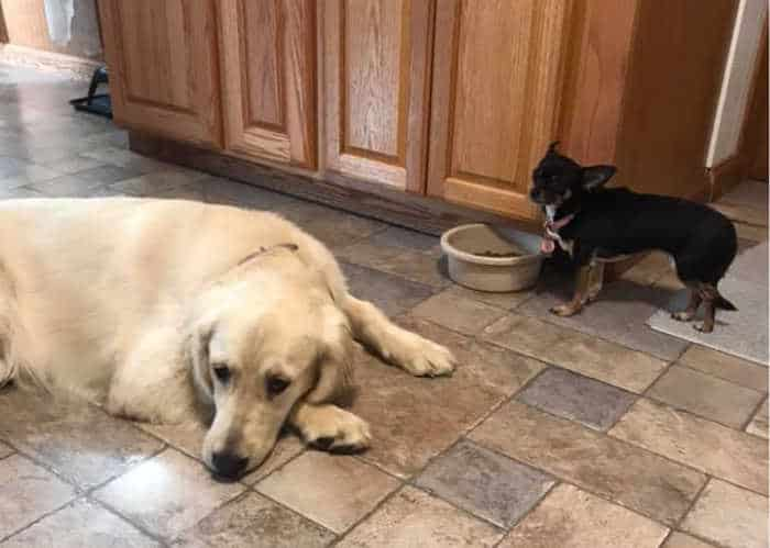 large dog laying by chihuahua by food bowl
