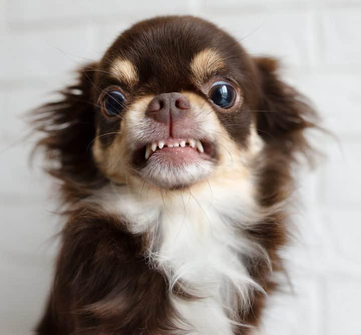 chihuahua showing teeth