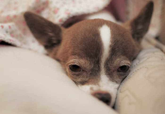 senior dog laying down