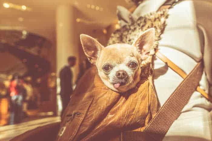 senior chihuahua in bag