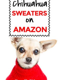 chihuahua dog wearing sweater