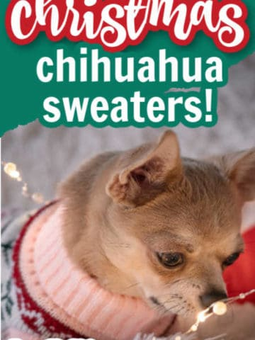 chihuahua wearing sweater