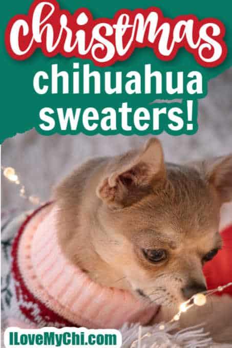 chihuahua wearing sweater