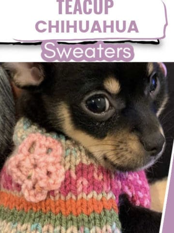 cute chihuahua in multi-colored sweater