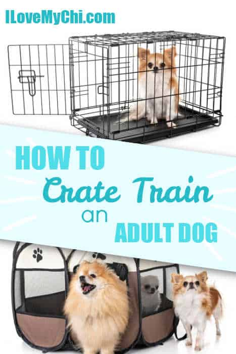chihuahua dogs in crates