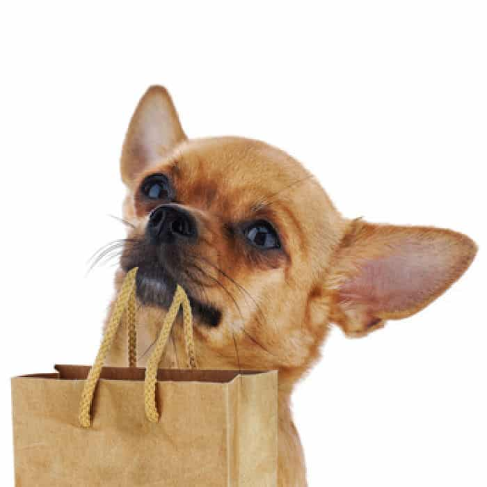 fawn chihuahua holding shopping bag in mouth