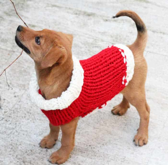 Christmas knitted sweater on a puppy