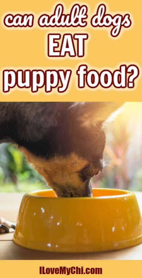 chihuahua eating food from yellow dog bowl