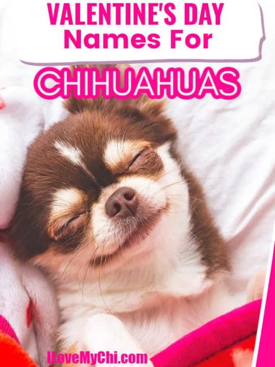 sleeping smiling chihuahua