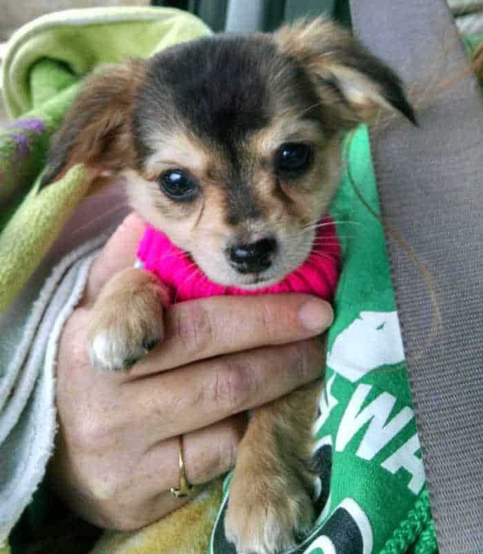 cute chihuahua puppy with tear stains