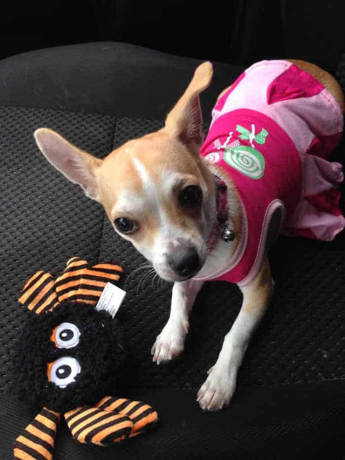 chihuahua in pink dress