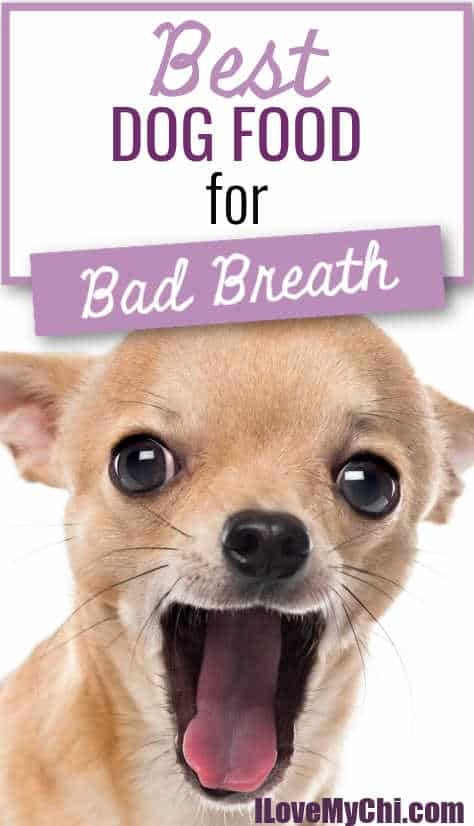 chihuahua with open mouth