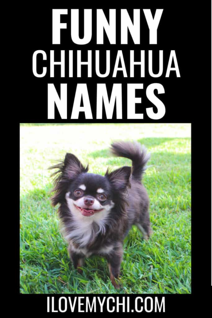smiling long haired chihuahua