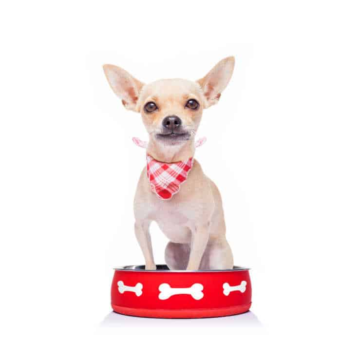 chihuahua sitting in food bowl